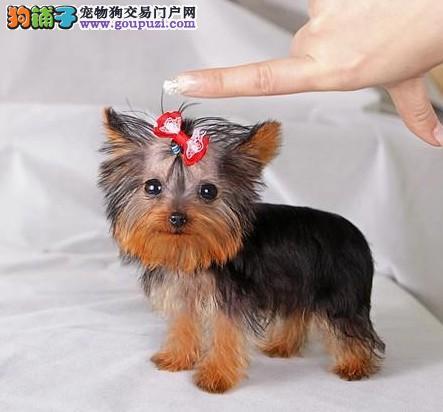 贵阳实体店热卖约克夏颜色齐全微信咨询视频看狗