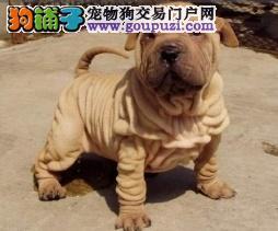 青岛本地出售高品质沙皮狗宝宝均有三证保障
