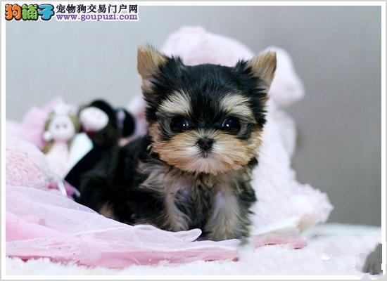 北京专业繁殖基地售纯血统约克夏公母均有,信誉保证。
