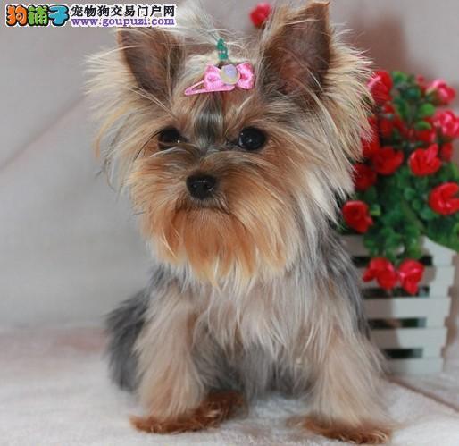 出售约克夏幼犬 保证血统纯度 签订正规合同