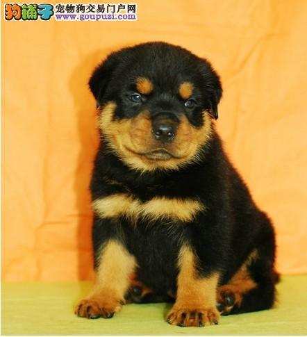 身体强壮 动作迅猛 气势强悍的德系罗威纳幼犬出售