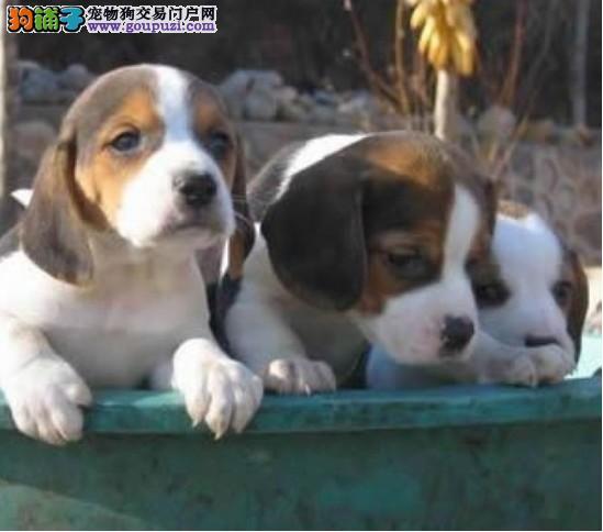 买比格幼犬花色纯正机灵可爱比格犬公母都有