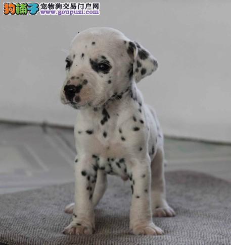 北京名犬繁殖基地现出售纯血大麦町犬签订协议三针齐全