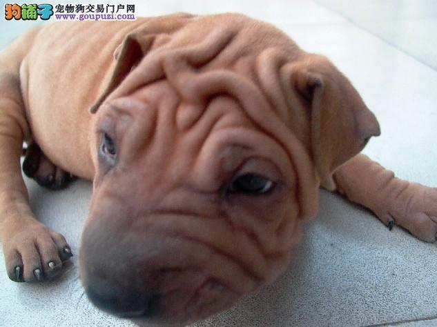 天津正规狗场犬舍直销沙皮狗幼犬价格美丽品质优良