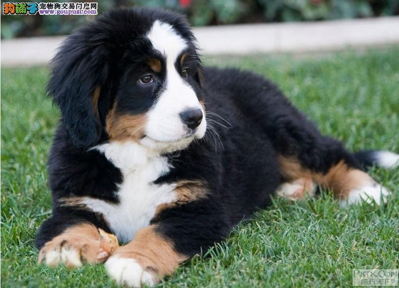 伯恩山泰安最大的正规犬舍完美售后签协议上门选