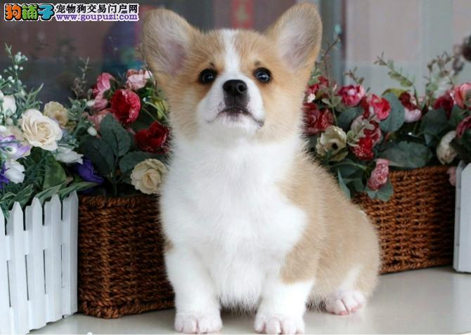 出售多种颜色纯种柯基幼犬质量三包完美售后