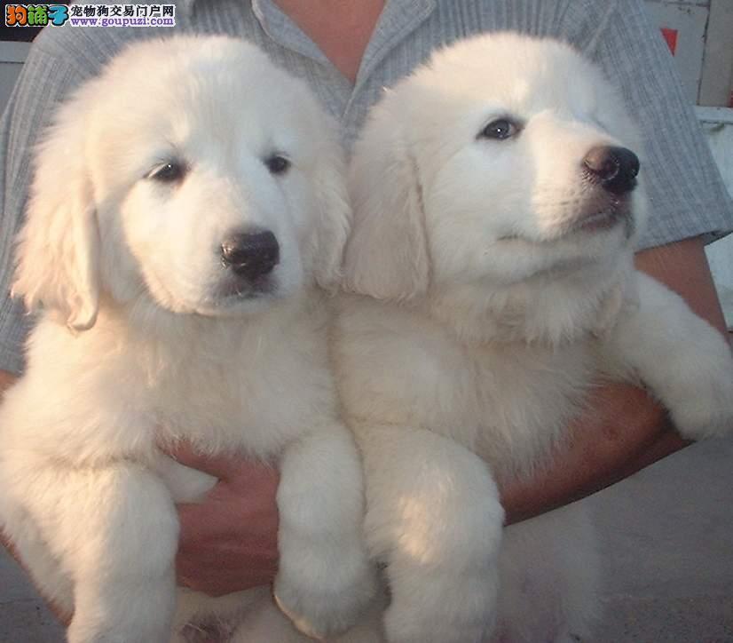 哪里出售大白熊 大白熊价格 大白熊照片 最好的大白熊