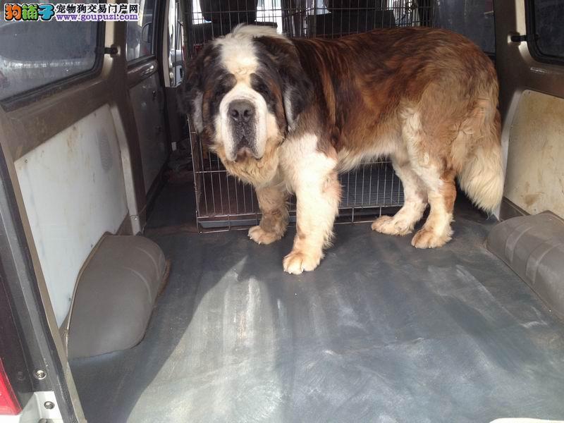 北京 通州/北京犬舍出售圣伯幼犬成犬种公。(最新照片)[三个月公狗]