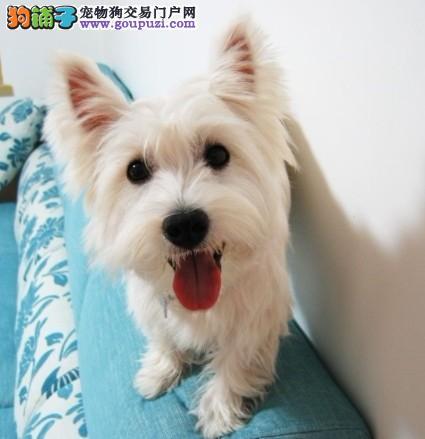 家养迷你西高地犬 纯种 幼犬出售 西高地白梗犬 宠物狗