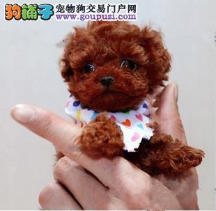 纯种日本迷你袖珍犬特价出售CKU国际认证茶杯犬
