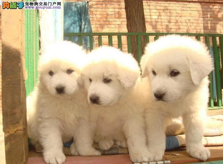 雪兽系大白熊幼犬 骨骼大 毛质好 三针齐签 质保
