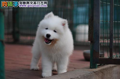 超可爱纯种微银狐犬出售.健康.品质保证