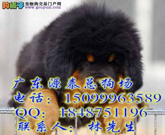 江门 藏獒/纯种藏獒犬价格江门哪里有卖藏獒幼犬 狮子头虎头藏獒[三个月公...