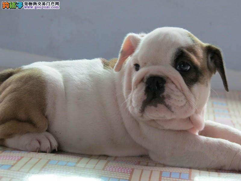 广州正规养殖场出售憨厚体型斗牛犬 公母均有任您挑选