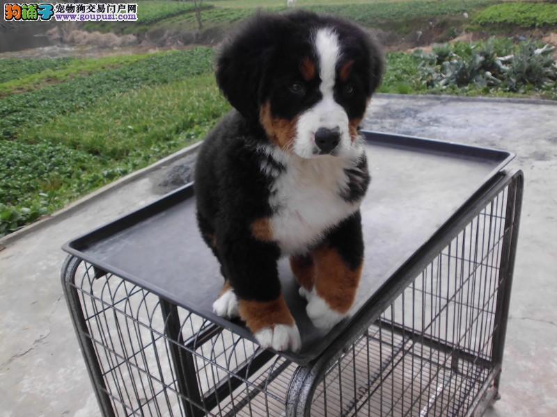 CKU犬舍认证伊犁州出售纯种伯恩山可以送货上门