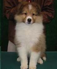 苏格兰国犬极品牧羊宝宝到了接受预定年纪了
