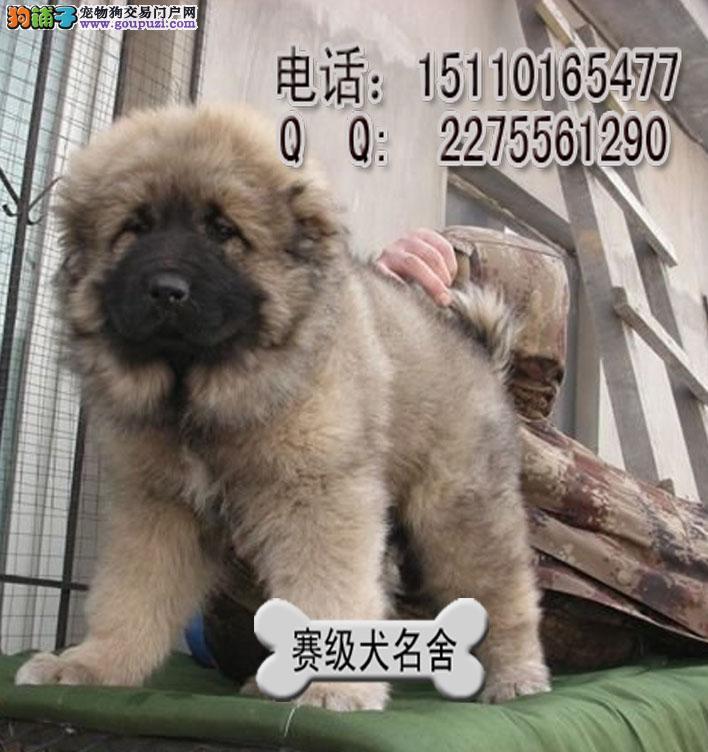 高加索吧 高加索犬价格 高加索犬与藏獒打架[三个月公母全有]高清图片