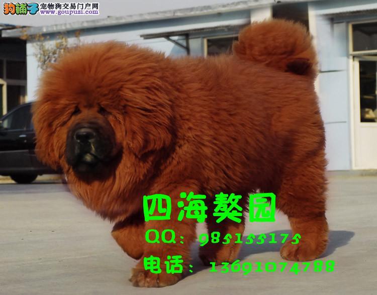 台州/极品、牛蹄子藏獒在这里、纯种和健康、CKU认证犬业[两个月公母...