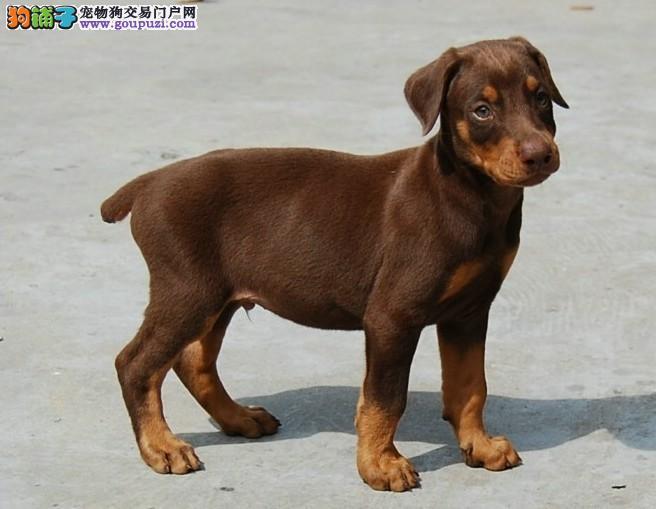 杜宾犬 幼犬 德系 赛级血统看家护院 黑色 立耳