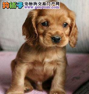 极品可卡幼犬,CKU认证血统纯正,提供养狗指导