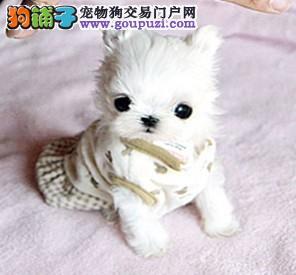 茶杯袖珍狗 长春哪里卖茶杯狗 哪里能买到小的茶杯狗