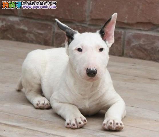 赛级牛头梗宝宝 金牌店铺信誉第一 购犬可签协议