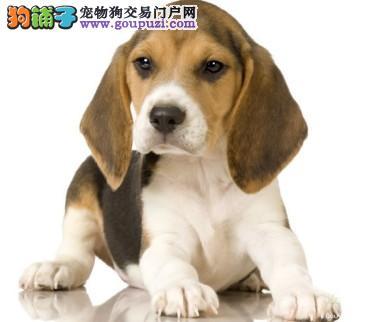 权威机构认证犬舍 专业培育比格犬幼犬狗贩子请勿扰