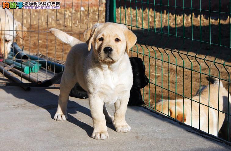 拉布拉多犬舍 北京拉布拉多犬舍 专业繁育包纯健康