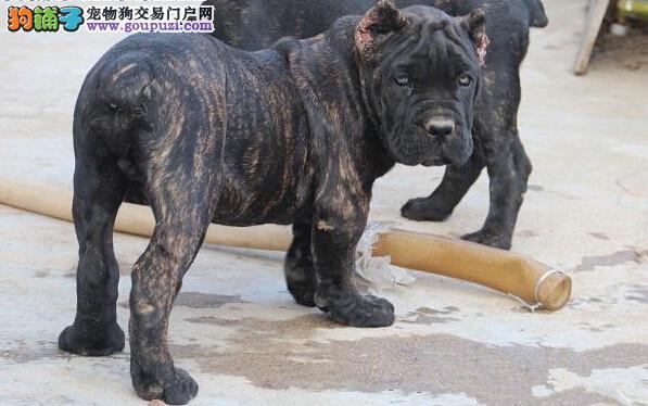 南京实体店出售精品卡斯罗犬保健康签订三包合同