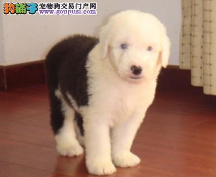 国际注册犬舍 出售极品赛级古代牧羊犬幼犬终身售后保障