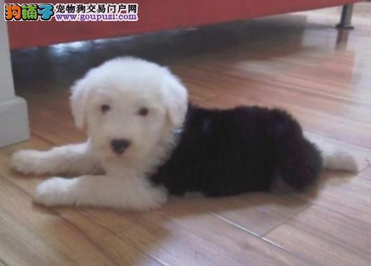 CKU犬舍认证长春出售纯种古代牧羊犬期待您的光临