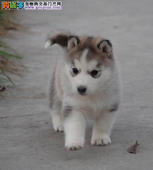 出售三把火蓝眼睛纯种健康的武汉哈士奇幼犬 欲购从速