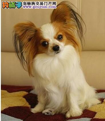 精品蝴蝶犬幼犬一对一视频服务买着放心终身完善售后服务
