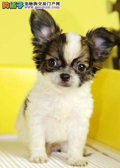 正规犬舍出售蝴蝶幼犬,包纯包健康 可上门挑选