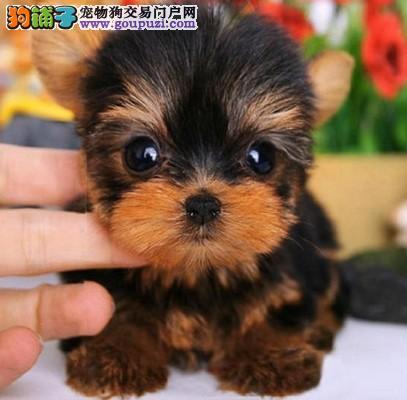 纯种可爱的约克夏幼犬出售 品质可靠 疫苗齐全