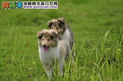 赛级血统苏牧幼犬品质保证签协议保证品相好随时来场看