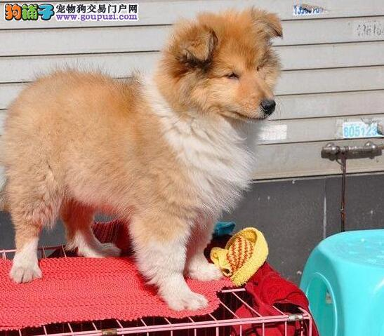 基地繁殖纯种健康质保三年十来只苏牧幼犬出售中