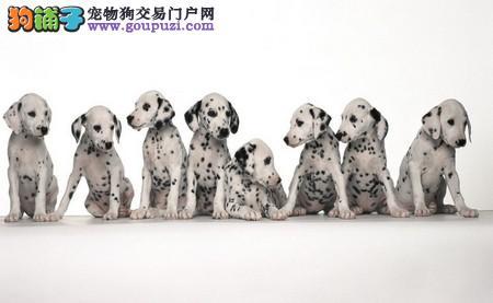 天津精品高品质斑点狗宝宝热销中欢迎您的光临