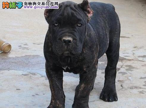 西安自家繁殖的纯种卡斯罗犬找主人真实照片视频挑选