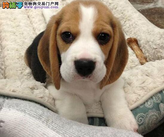 狗场直销比格狗买纯种比格狗可视频挑选