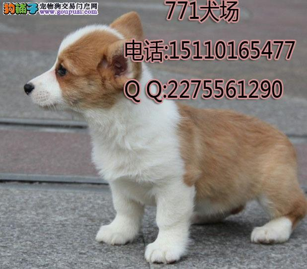 北京最大繁殖基地出售纯种威尔士柯基犬公母多只