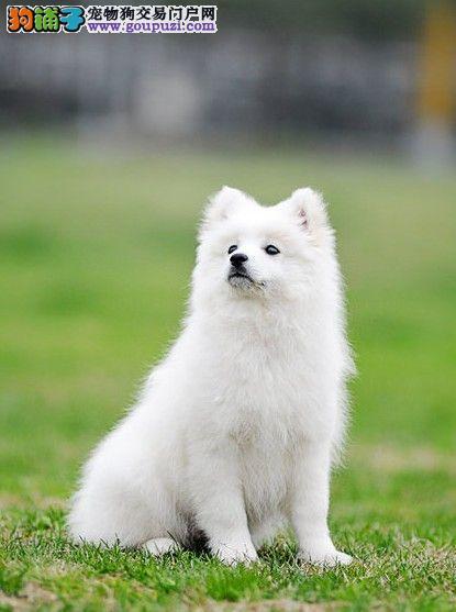 南京日本尖嘴银狐犬出售 哪里出售银狐犬价格合理