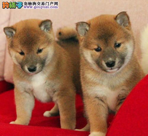 柴犬西城CKU认证犬舍自繁自销一宠一证视频挑选