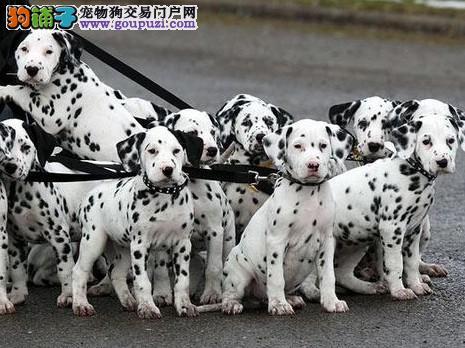 纯种健康的大麦町斑点幼犬出售公母都有欢迎选购