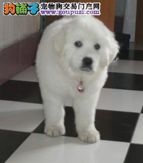 表情文雅、聪明、沉默的狗狗大白熊