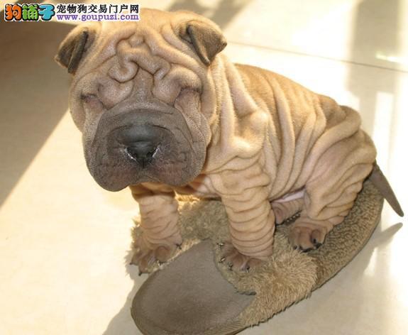 大连 哪里有沙皮犬出售 纯种健康的沙皮犬哪里有多少钱
