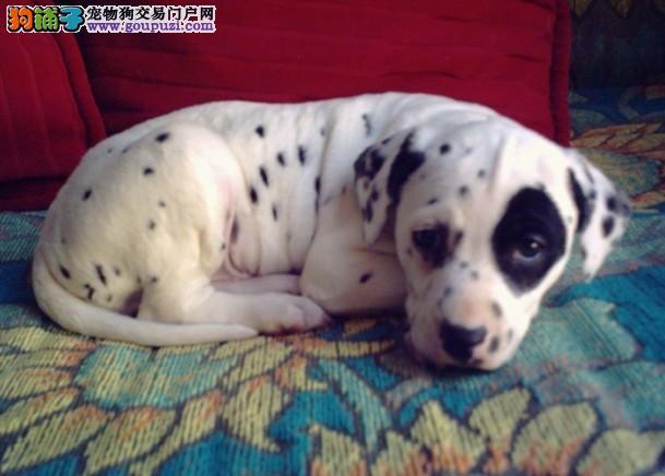 斑点狗,大麦町犬 聪明伶俐 质保健康纯种