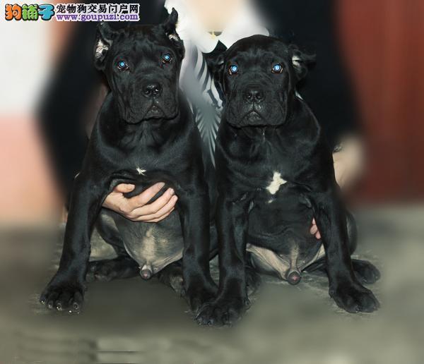 正规狗场犬舍直销卡斯罗犬幼犬赛级品质保障