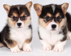 纯种柯基犬 两色 三色柯基犬 赛级柯基犬 按时防疫