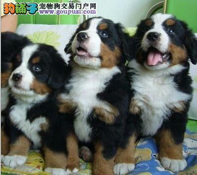 出售波音达犬威玛猎犬查理王伯恩山犬卡斯罗疫苗齐全